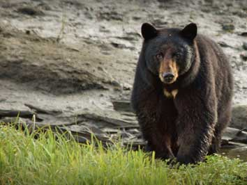 Bear Viewing on Ketchikan Zodiac Boat Tours