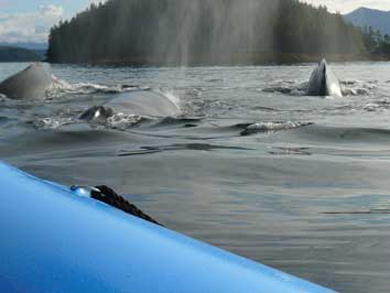 Whales up close to the boat on a Ketchikan Alaska Zodiac Tour