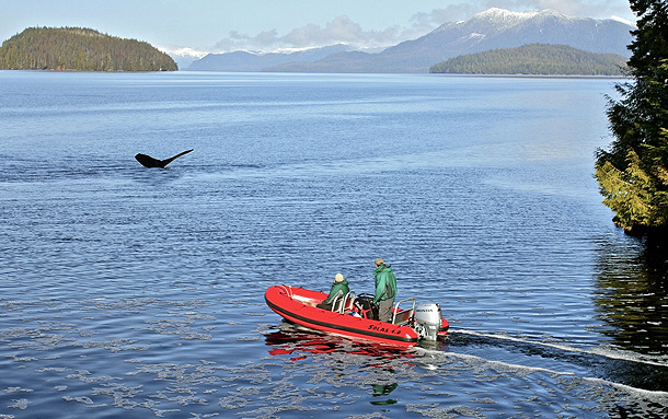 Whale breaching on a Ketchikan Zodiac Tour