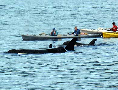 Orca viewing on a Ketchikan Sea Kayak Tour
