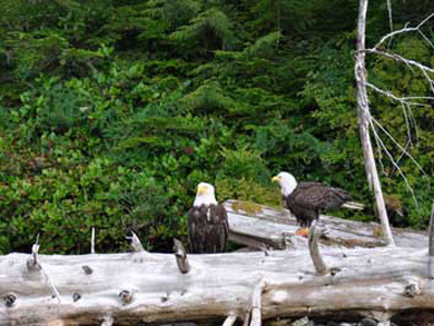 Bald Eagles spotted on a Tatoosh Islands Sea Kayaking Tour